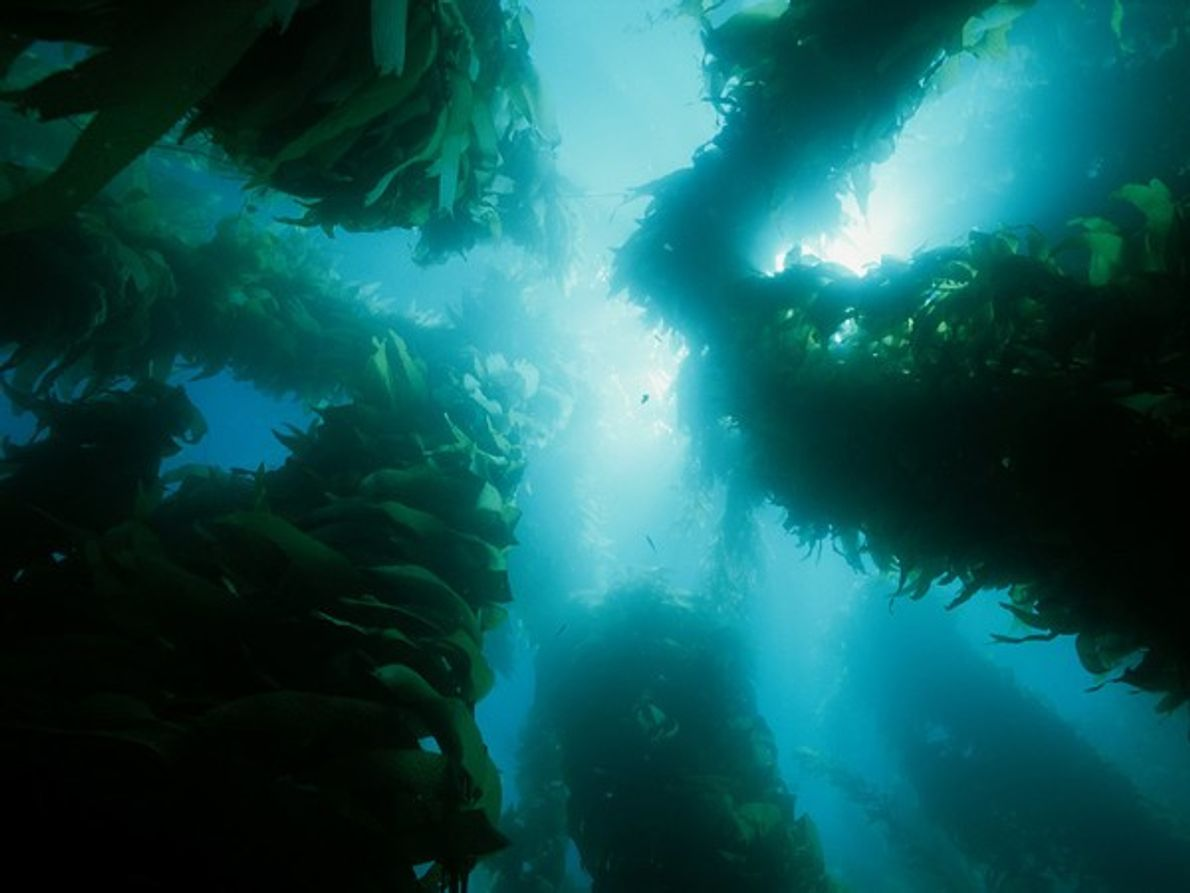 Algas Gigantes