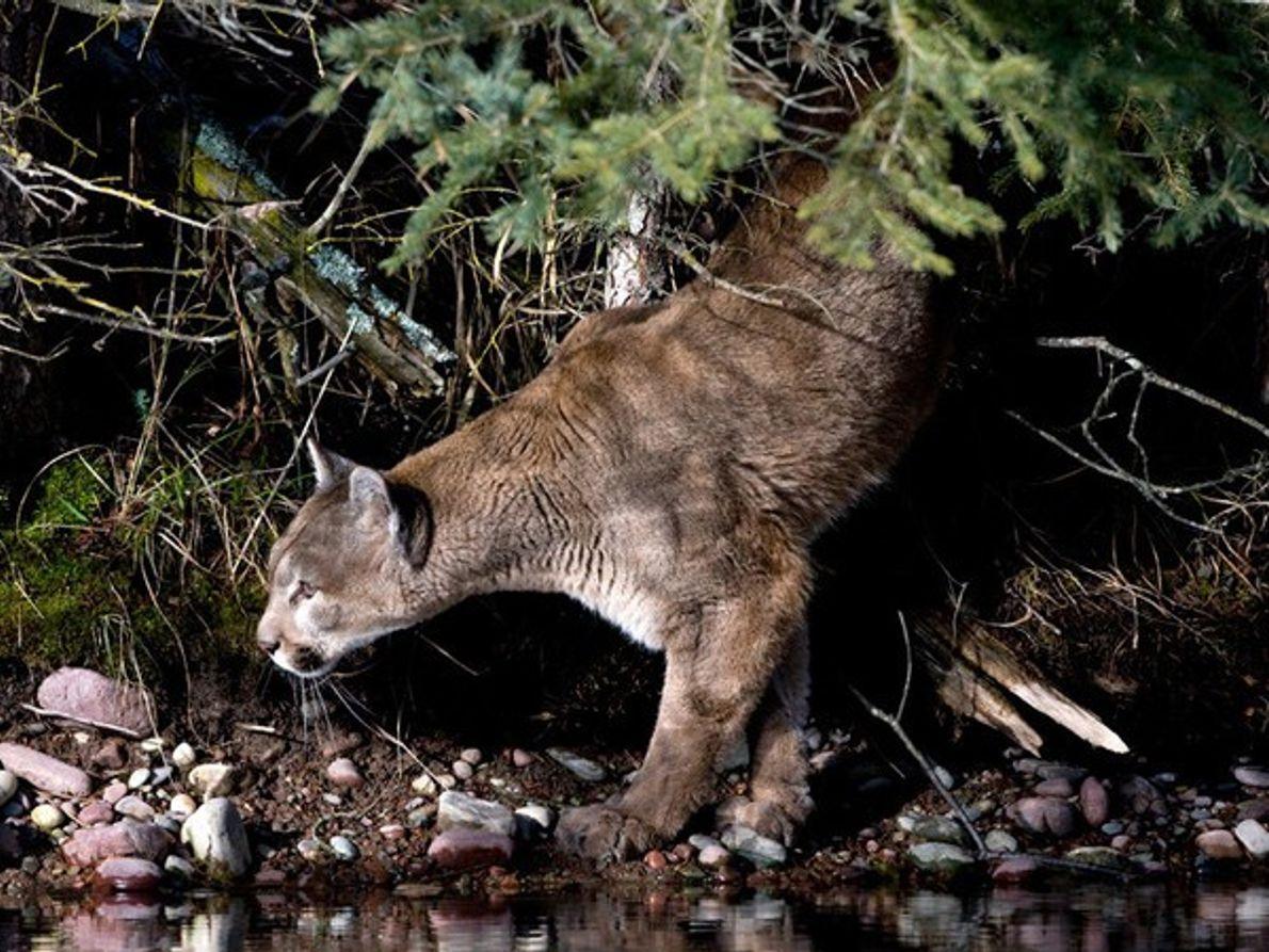 Puma cazando