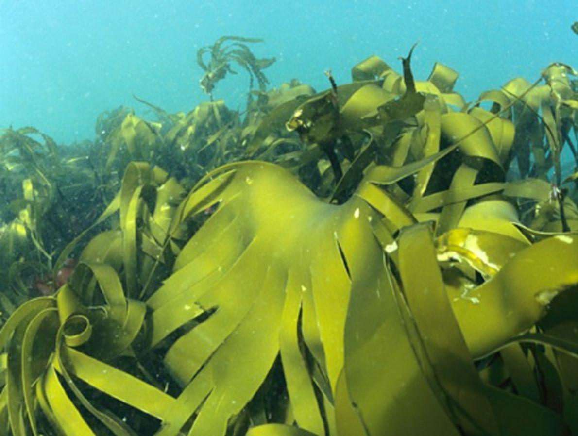 Bosque de marañas de algas