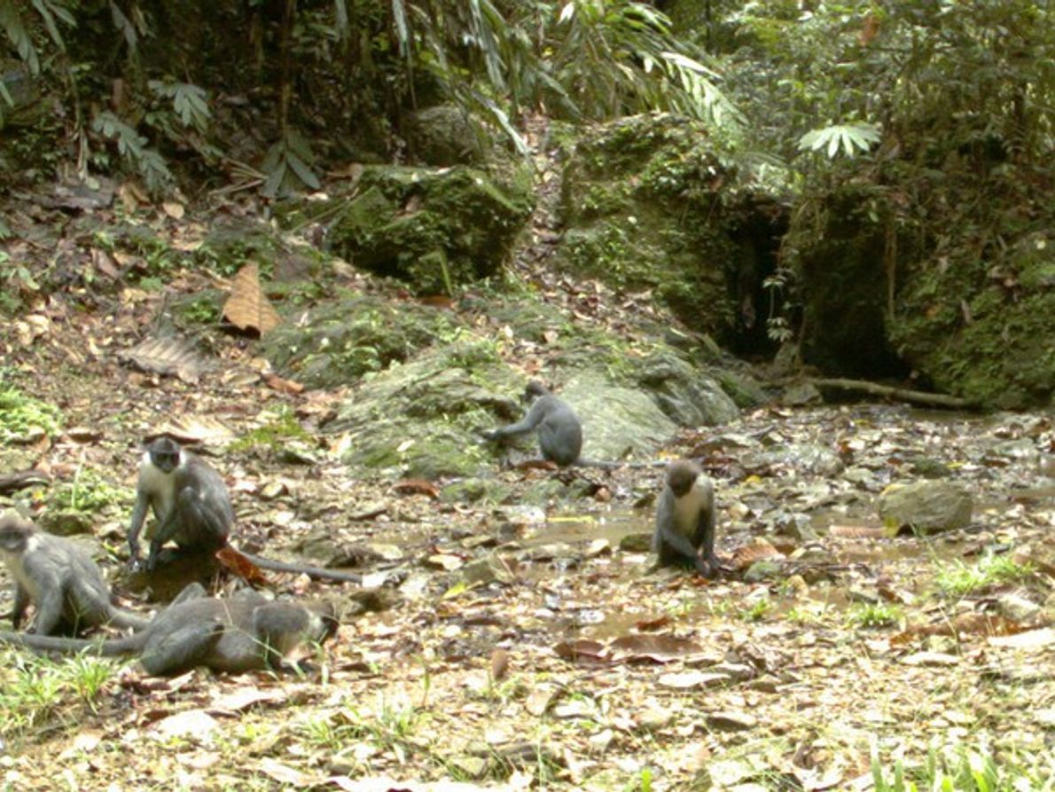 Monos jugando