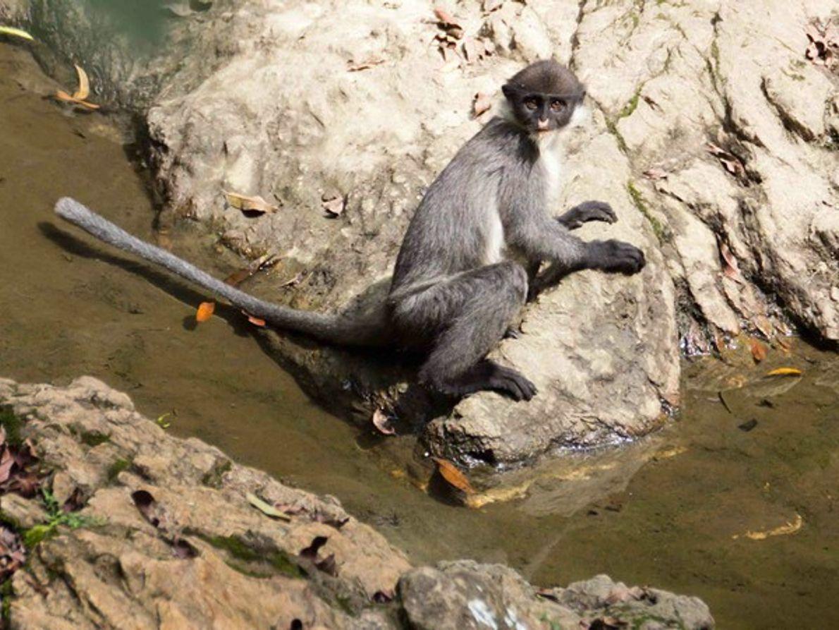 Mono extinto