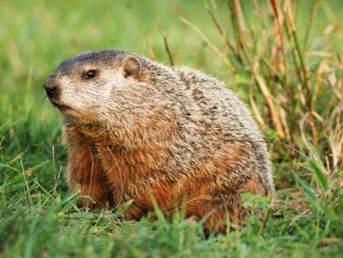 Marmota de Ohio