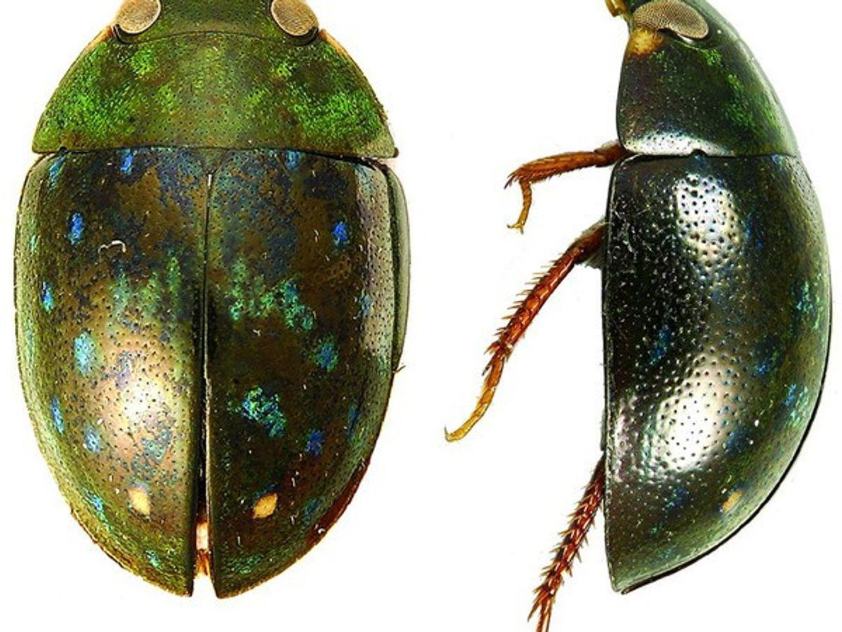 Escarabajo brillante de agua