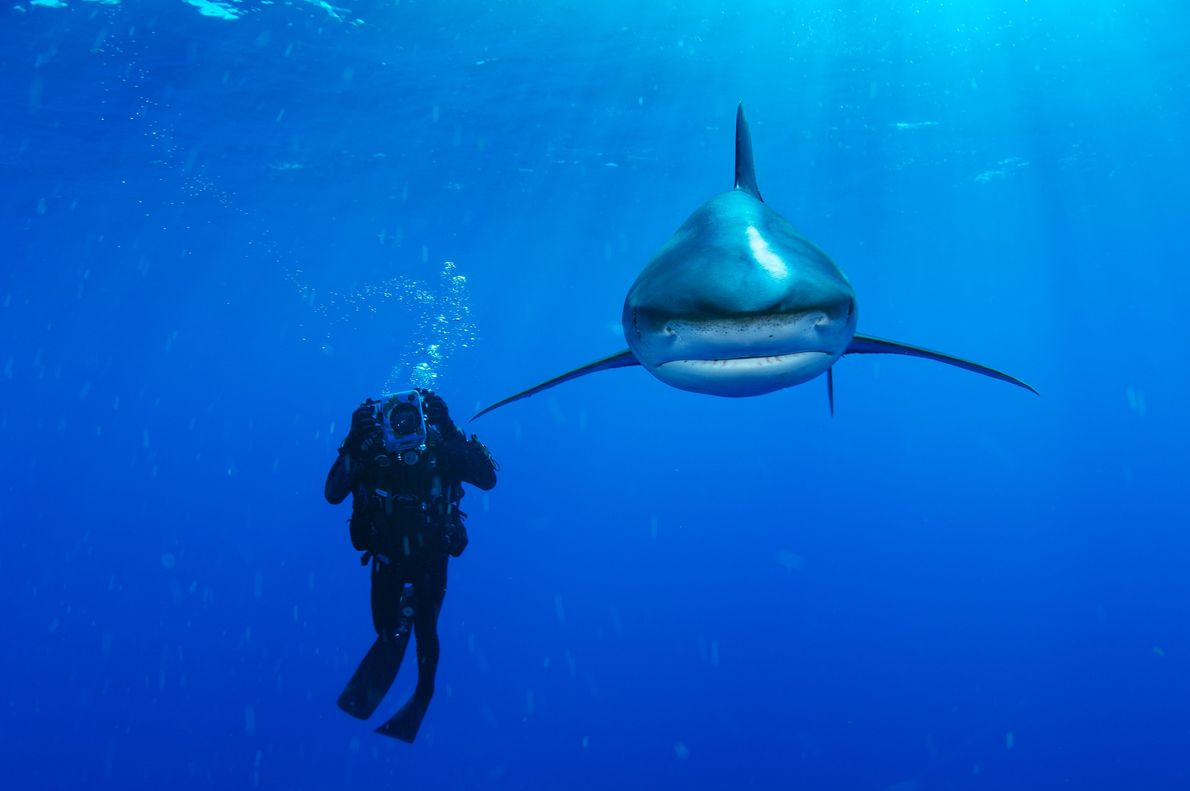 An oceanic whitetip shark near the Bahamas passes a diver and looks right into the camera.