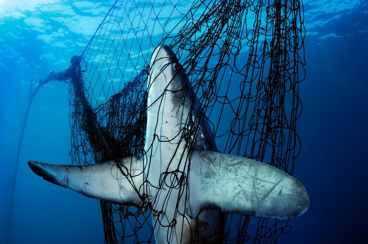 This thresher shark is the unlucky victim of abandoned fishing gear called ghost nets.