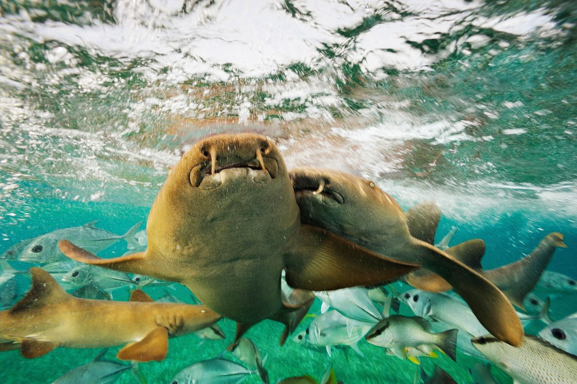 Nurse sharks bump into one another while swimming in the Hol Chan Marine Reserve near Belize.