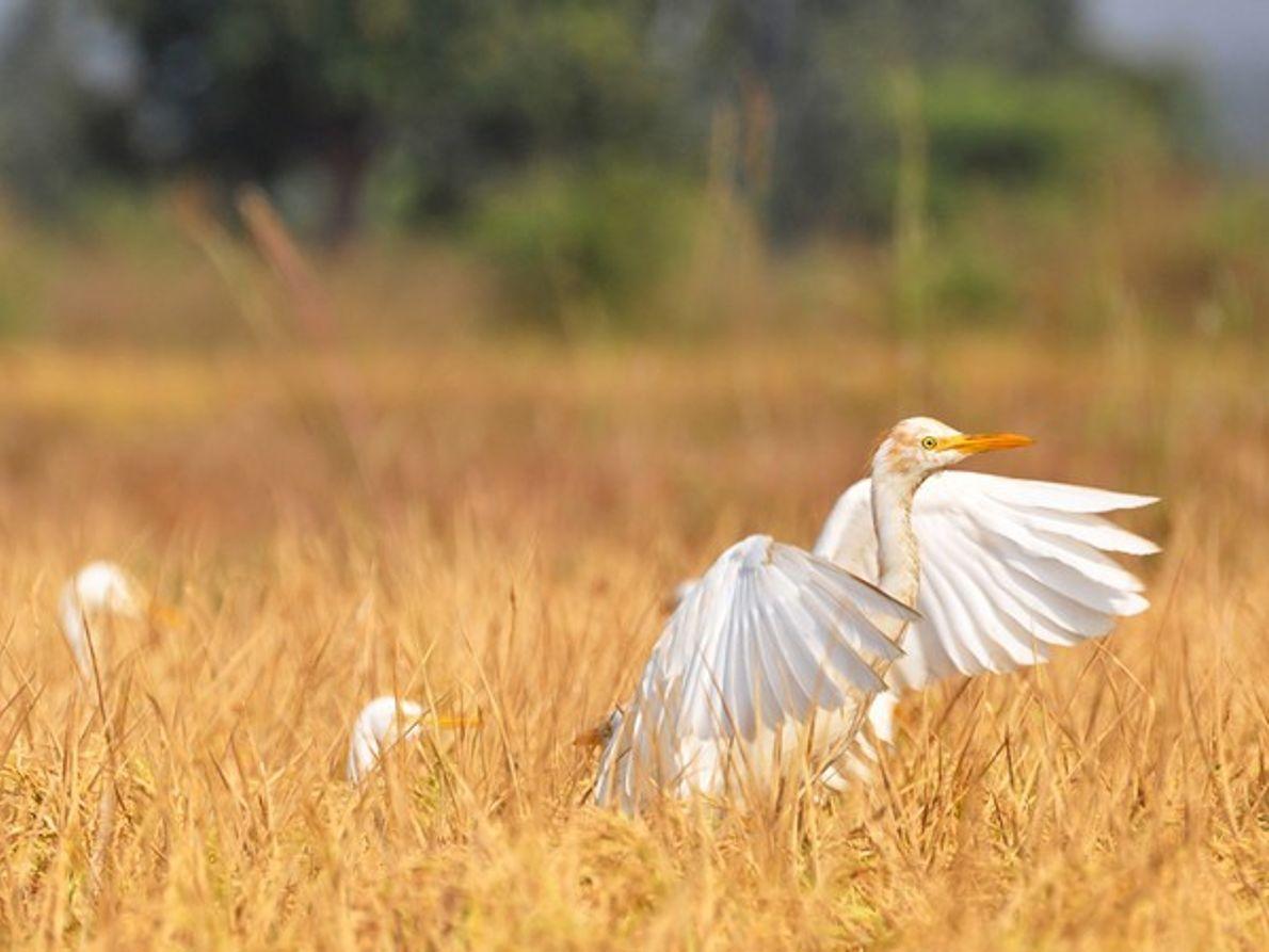 Garzas, India