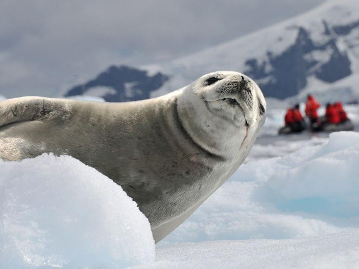 Foca cangrejera, Antártida