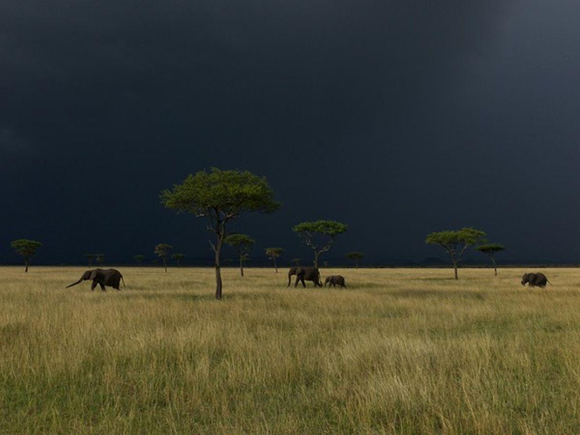 Elefantes, Serengeti