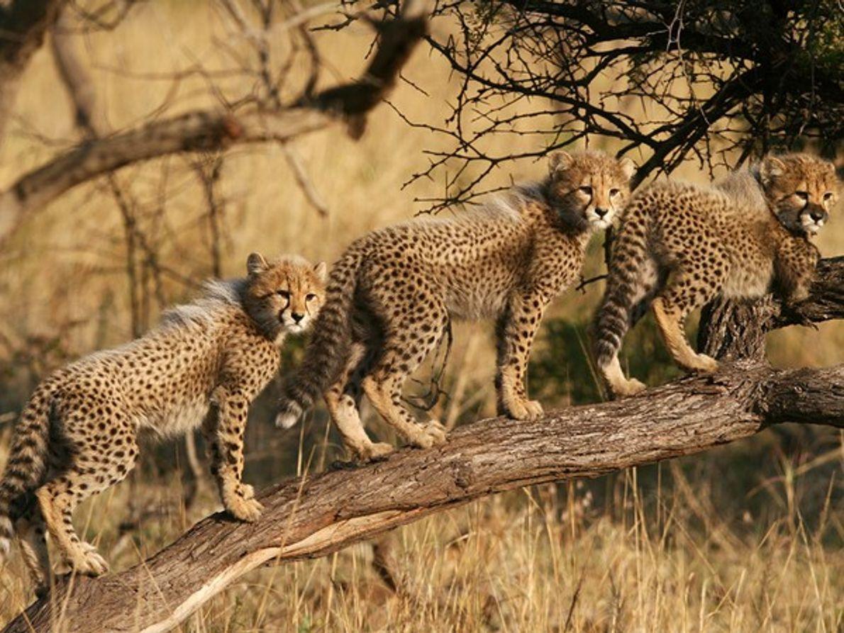 Cachorros de guepardo, África del Sur