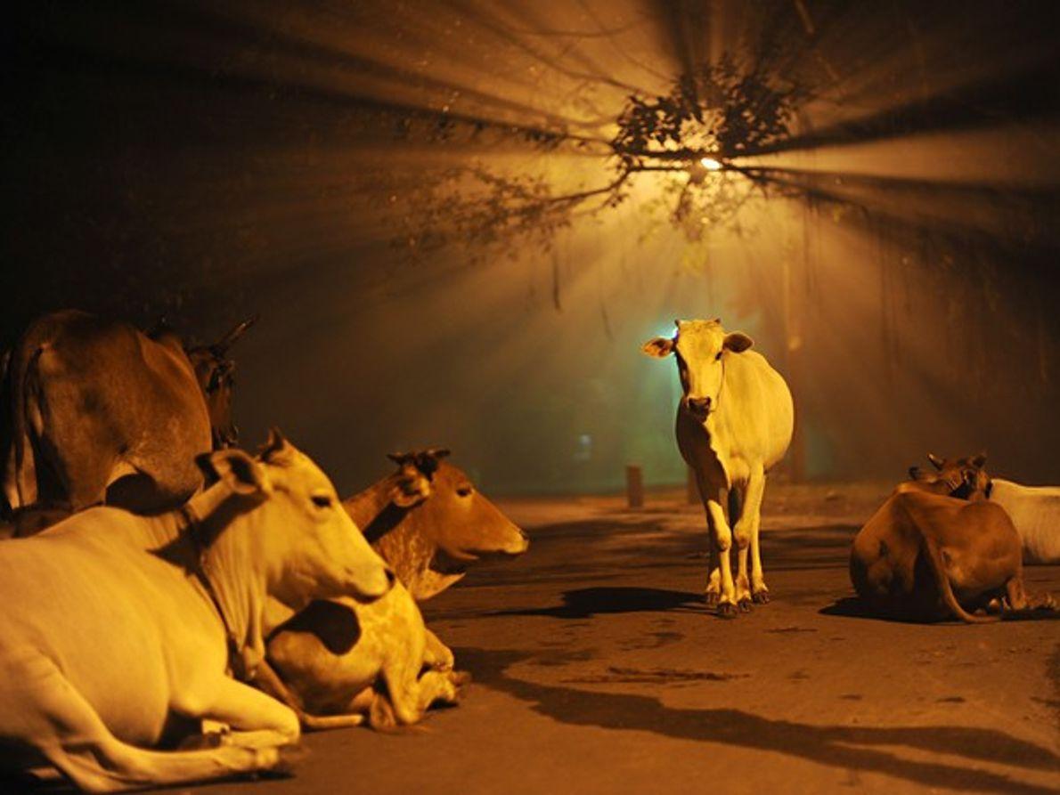 Vacas, India