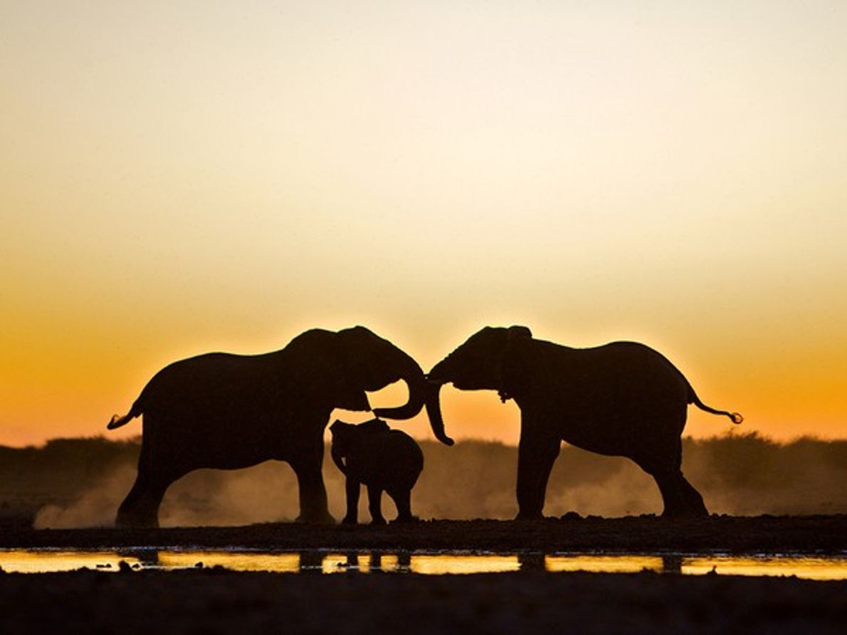 Elefantes, Nambia