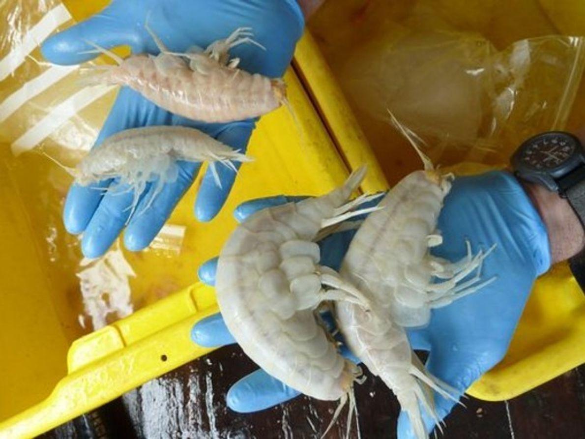 Científicos marinos encontraron en las profundidades del océano una nueva especie gigante de anfípodo.   …