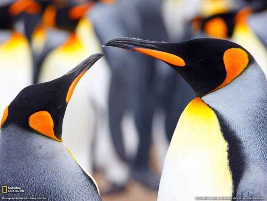 Los pingüinos son símbolo del romanticismo. Pasan juntos toda su vida y crían juntos a sus ...