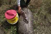 La pitón de Birmania causa estragos en Everglades (Estados Unidos)