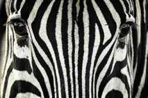 ¿Por qué tienen rayas las cebras?