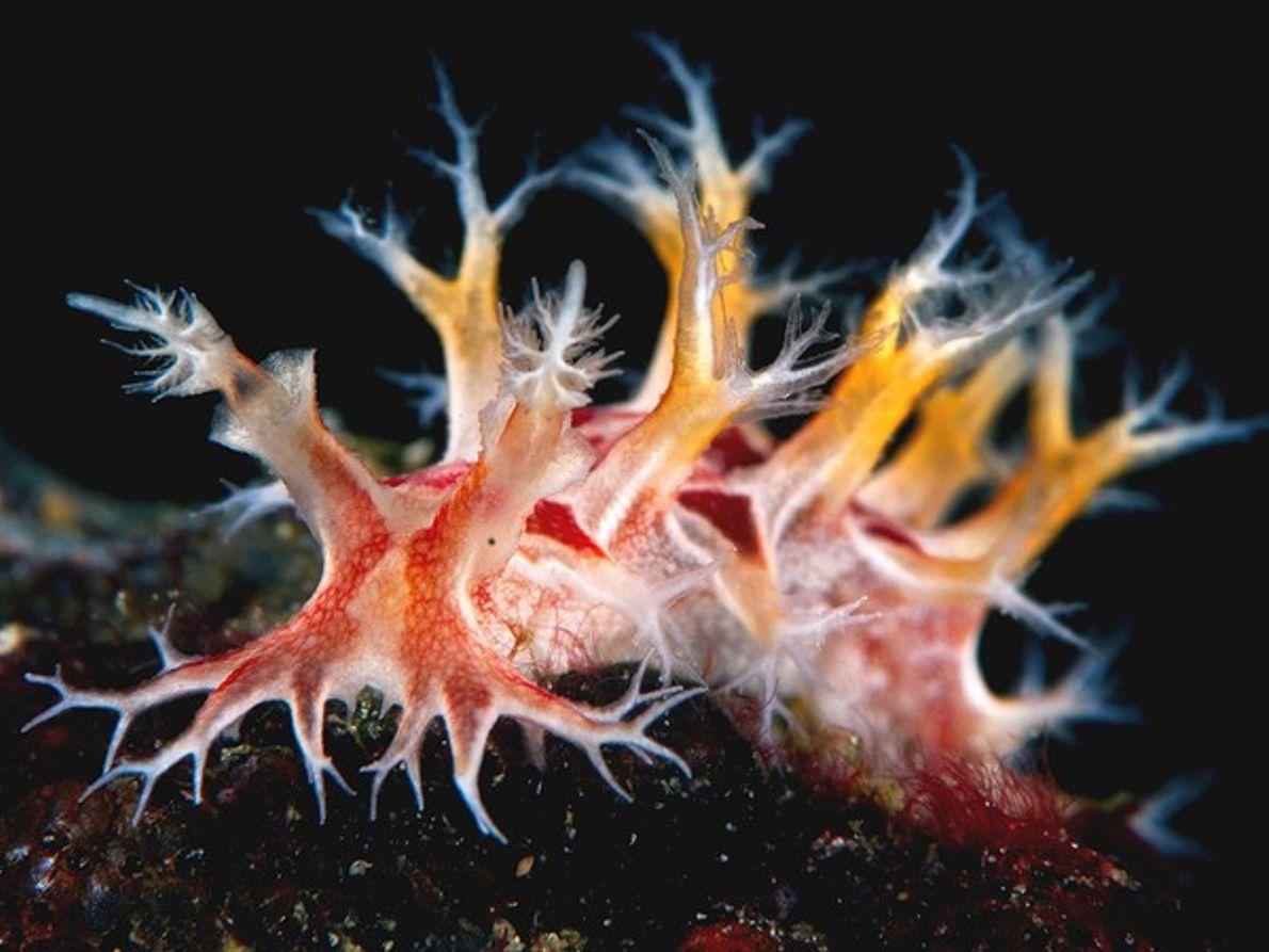 Nudibranquio tritón