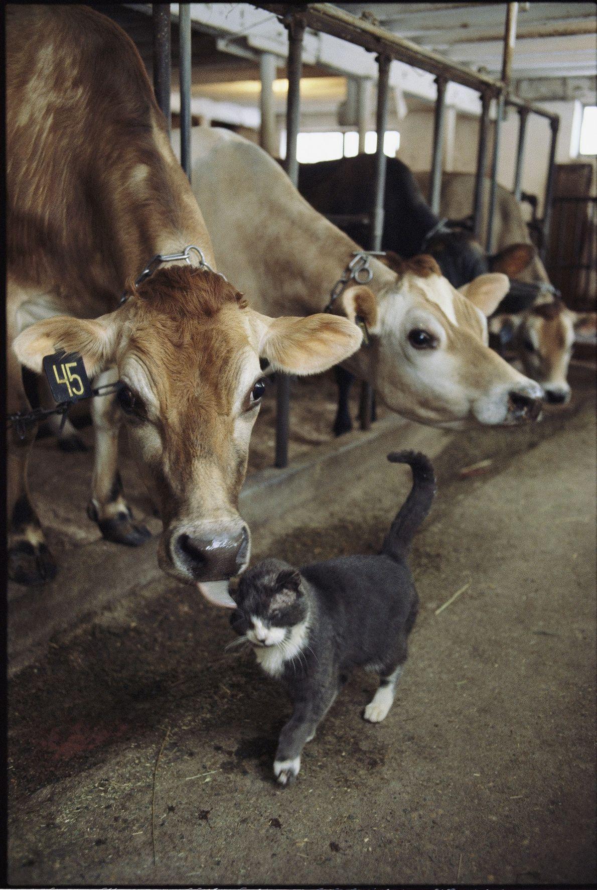 Una vaca le da un beso a un gatito