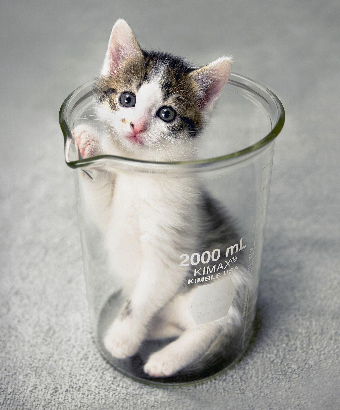 El primer gato clonado del mundo