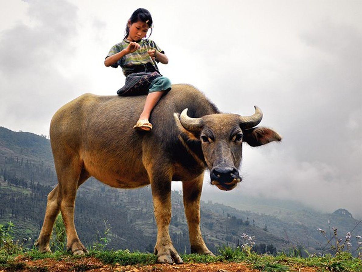 Niña montado sobre un búfalo, Vietnam