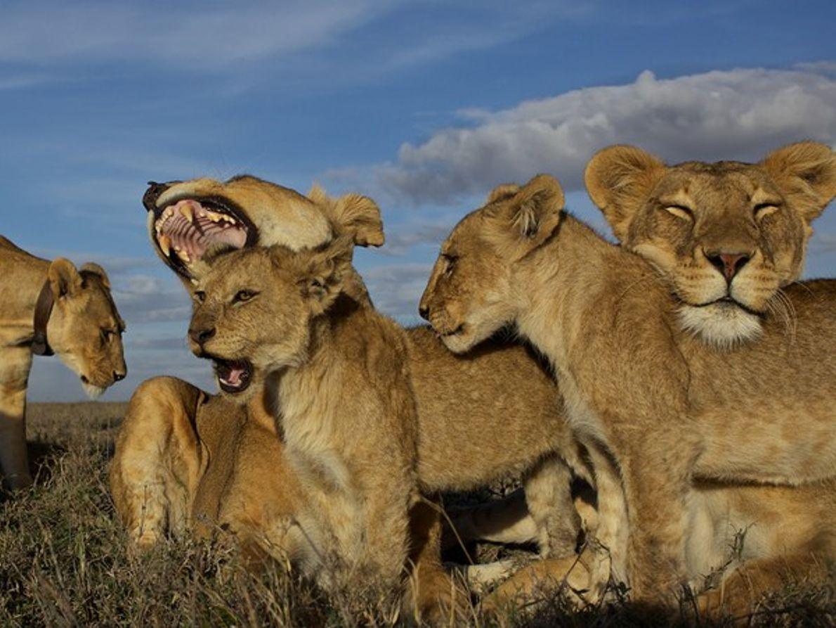 Manada de leones, Serengueti