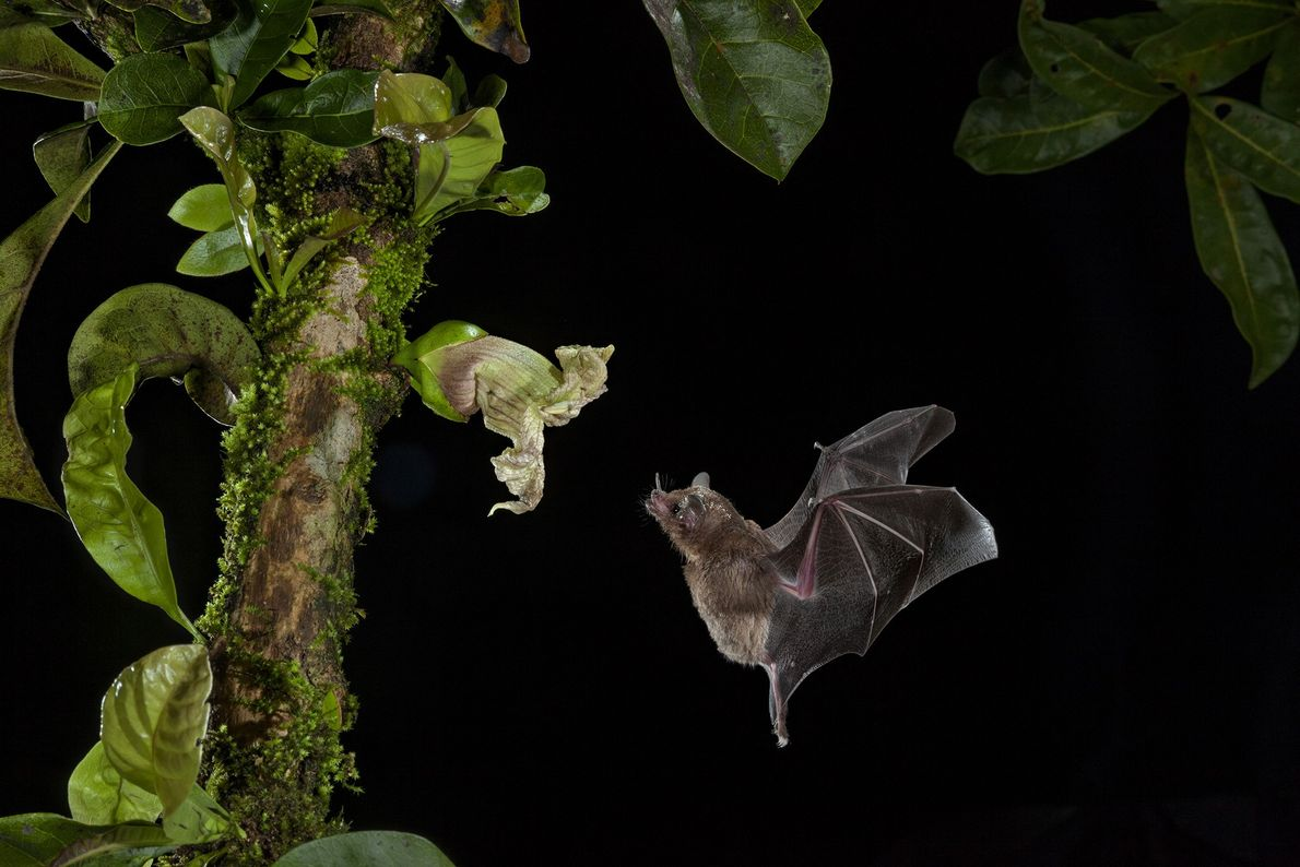 Murciélago comiendo néctar