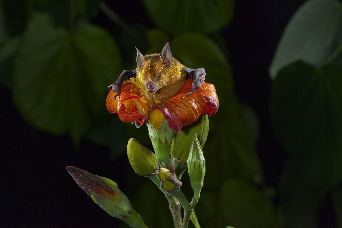 Murciélago chupando néctar