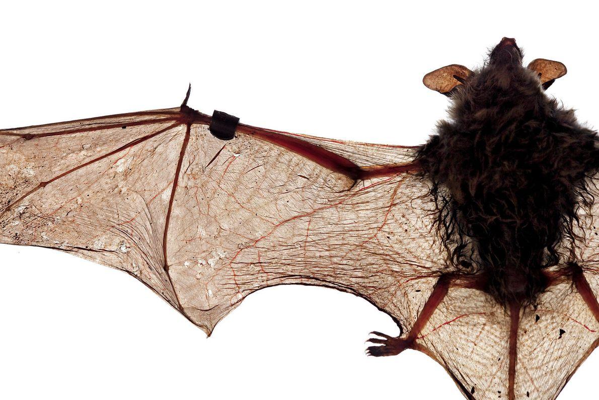 Myotis longipes