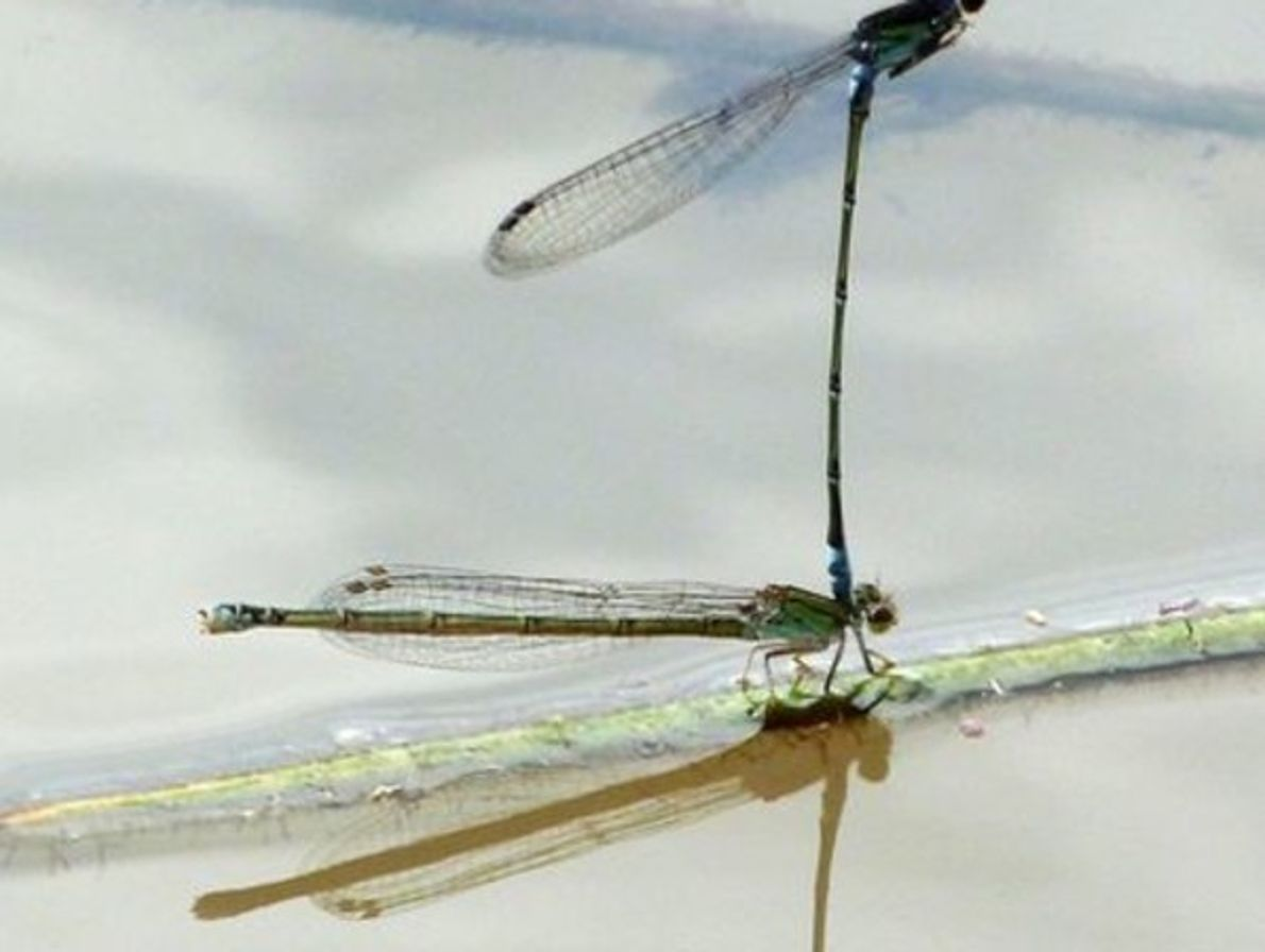 Baile de libélulas