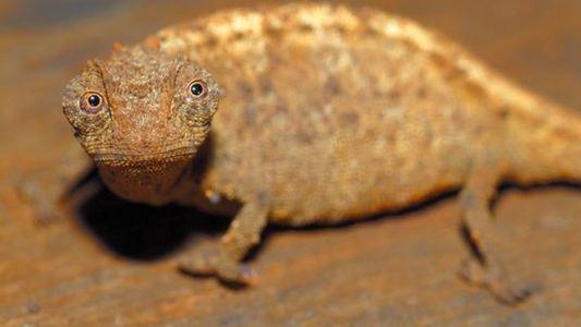 El camaleón más pequeño del mundo