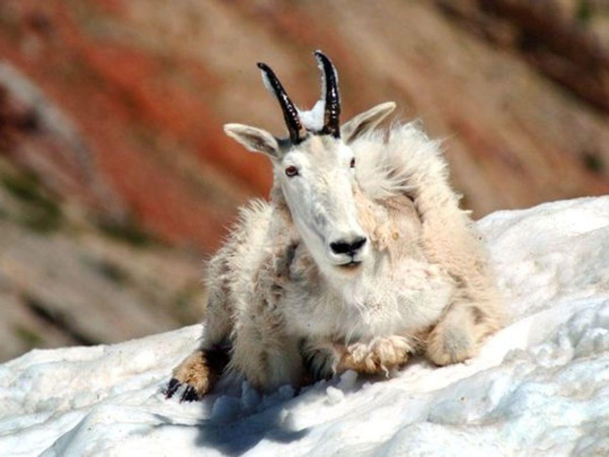Cabra de montaña, Montana