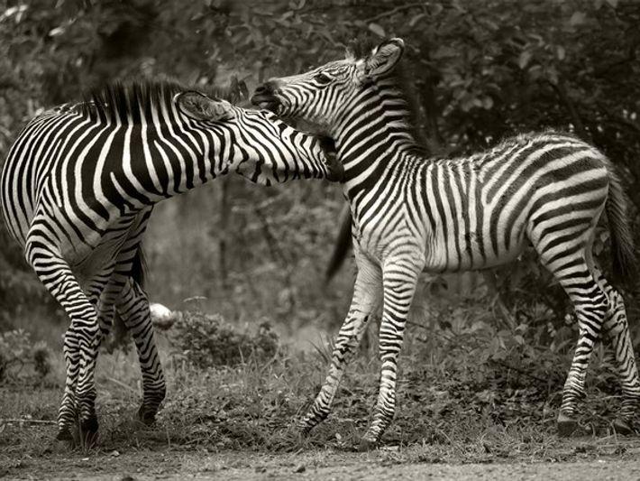 Cebras, Zambia