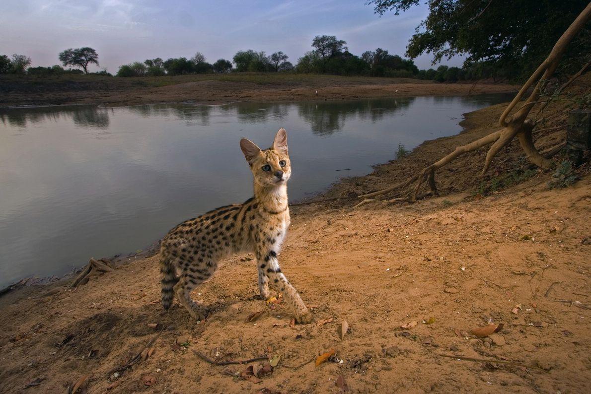 Un serval