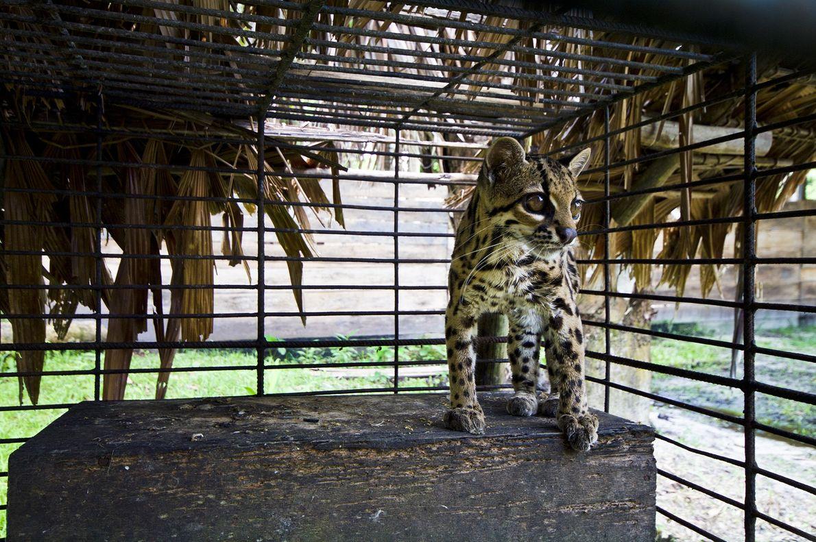 Un leopardo tigre