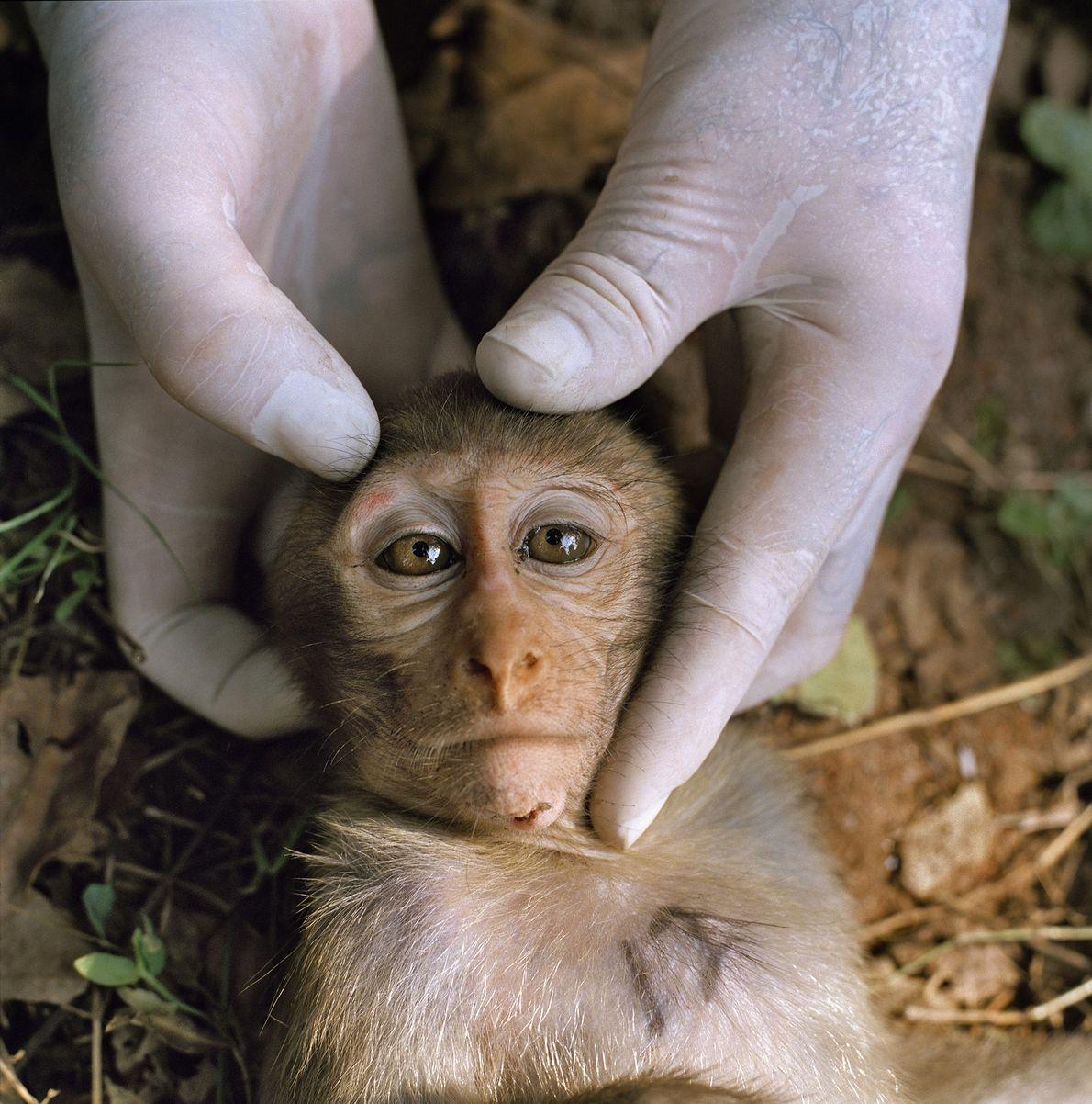 Un macaco Rhesus