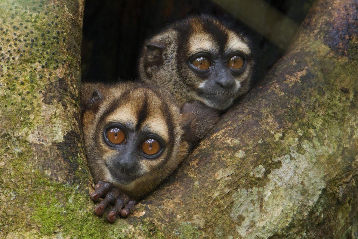 Dos micos nocturnos
