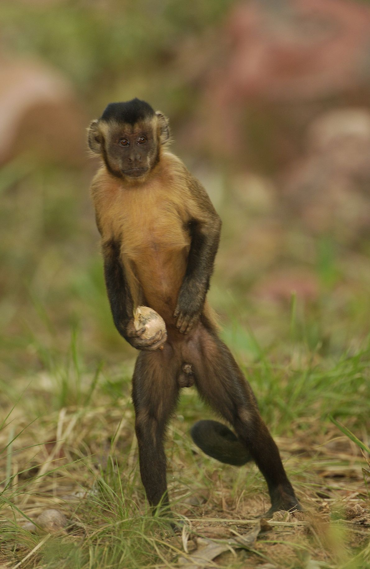 Un mono maicero