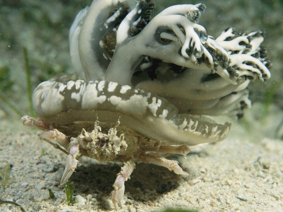 Cangrejo transportando una medusa