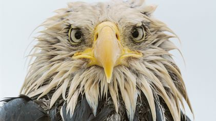Nuestras imágenes favoritas de águilas calvas