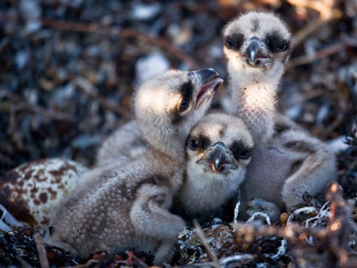 Polluelos de águila pescadora
