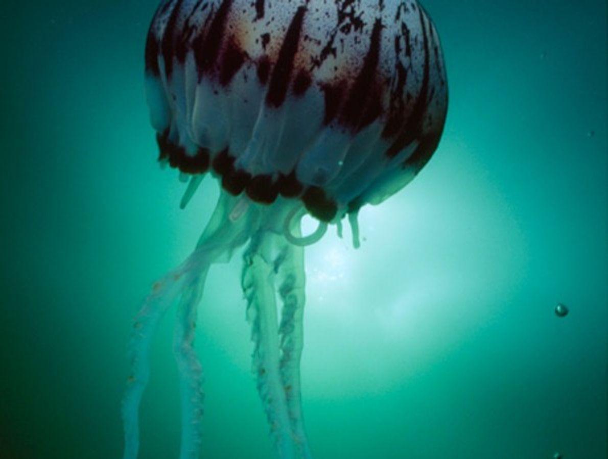 Medusa de rayas moradas