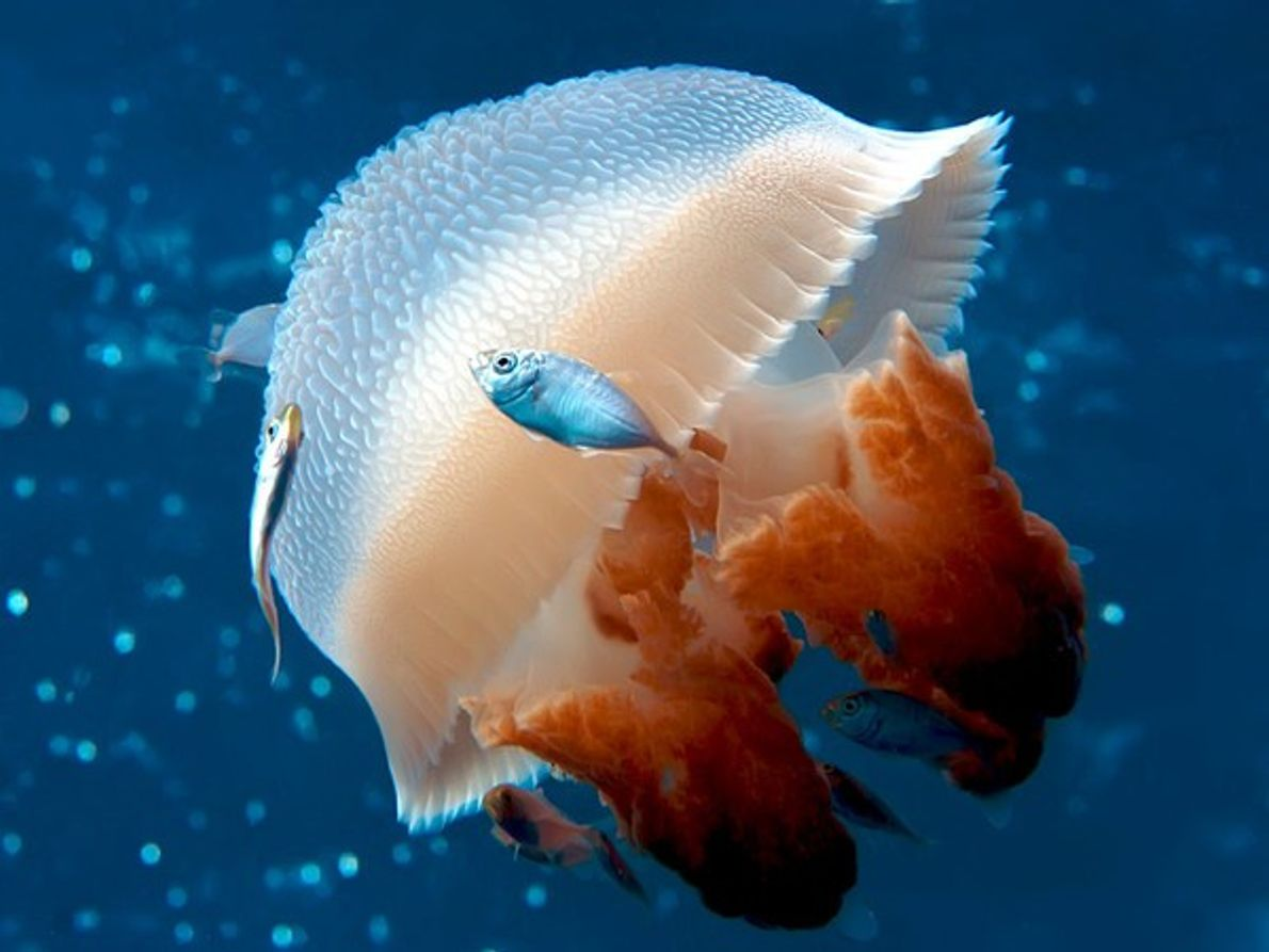 ¿Sabías que las medusas ayudan a preservar el clima terrestre?