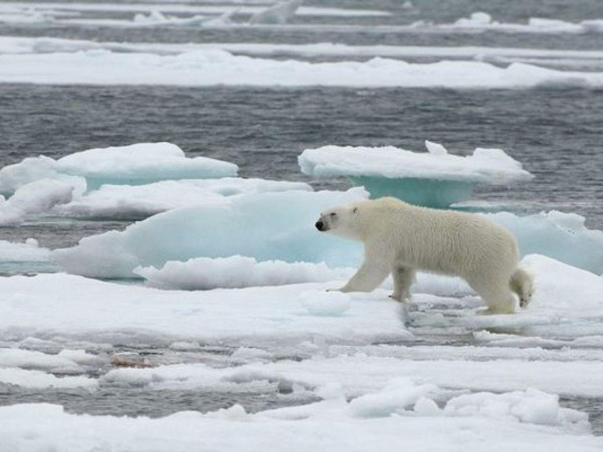 Oso polar, Noruega