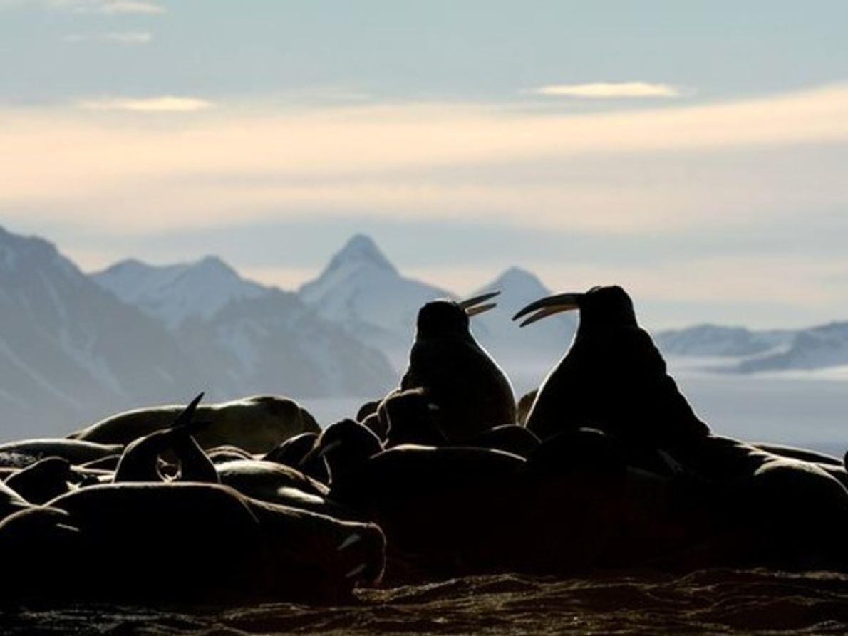 Morsas, Noruega