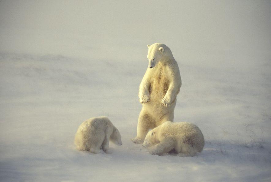 Un oso polar vigila a sus cachorros en la bahía de Hudson en Manitoba, Canadá. La ...