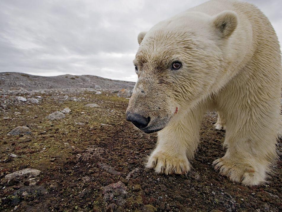 Los osos polares