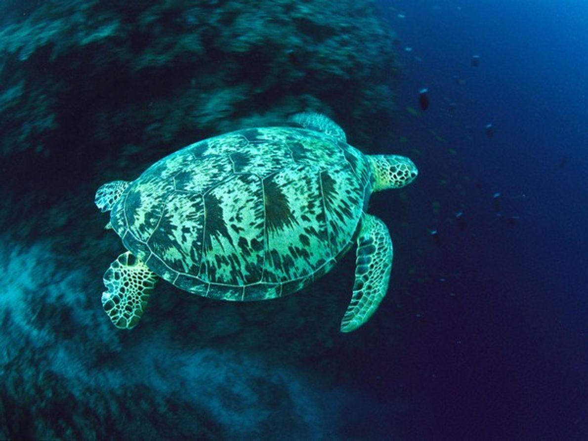 Una tortuga de mar verde nada en un arrecife en aguas abiertas cerca de Palau en …