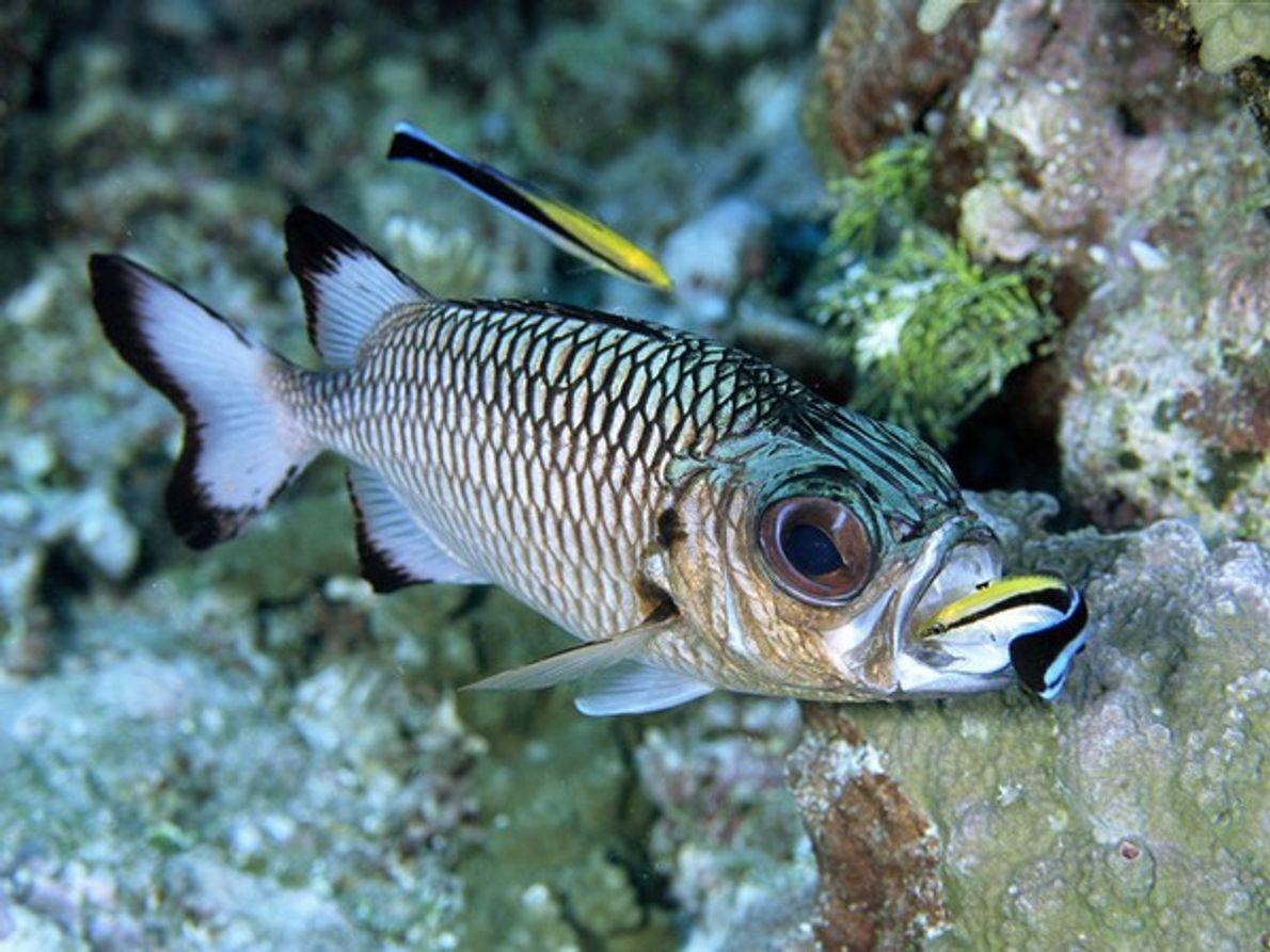 Dos peces limpiadores pulen a un pez en las azules aguas de la República de Palau.