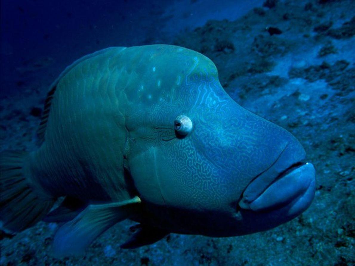 Este pez utiliza sus acolchados labios para absorber las púas de los erizos y otras criaturas …