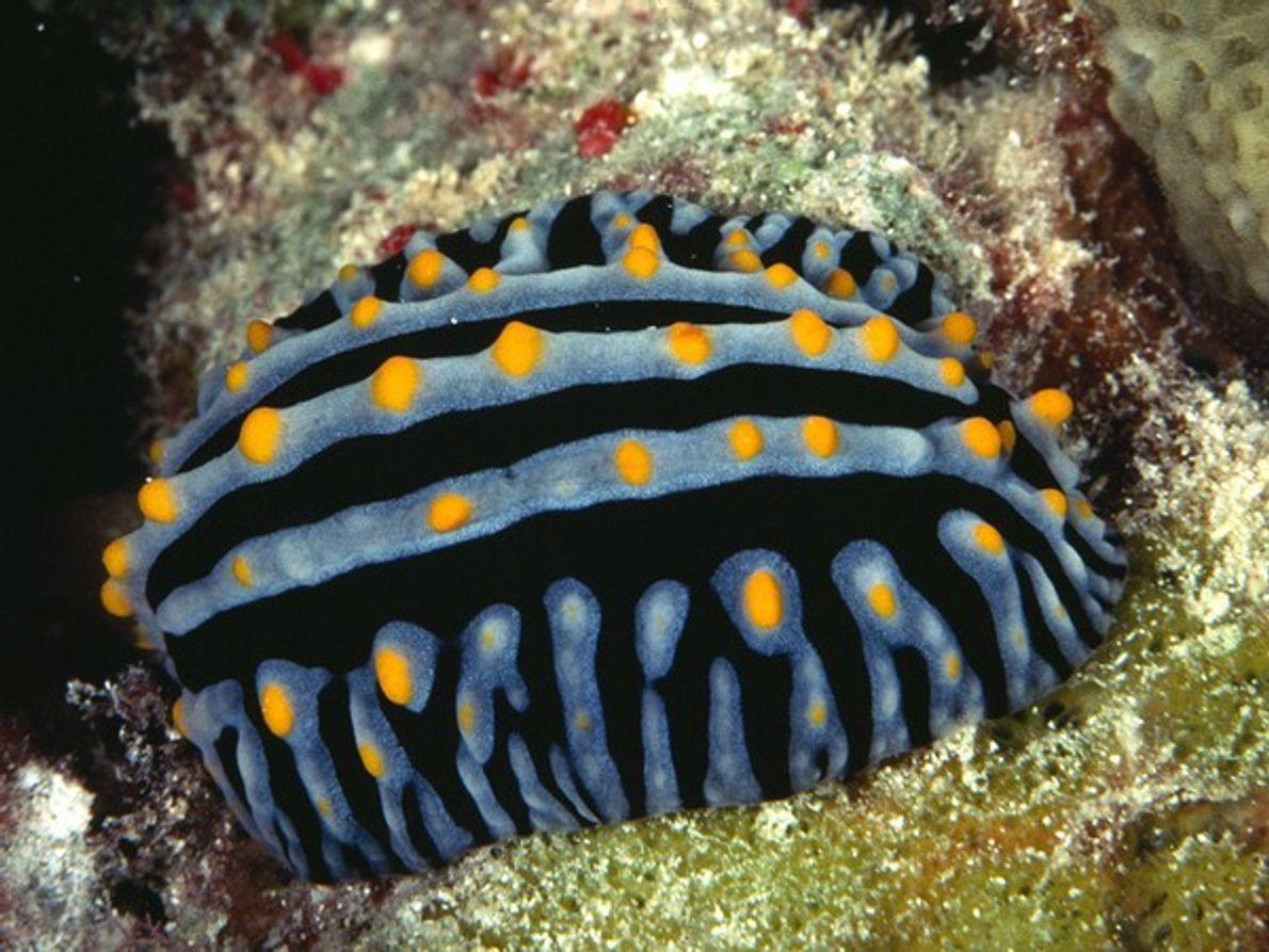 Un nudibranquio fotografiado en las islas Seychelles. Los nudibranquios son como babosas de mar, de cuerpo …
